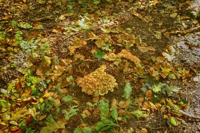 11_Achterberg_paddenstoelen_cornutus