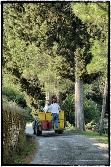 Druivenpluk Toscane_cornutus